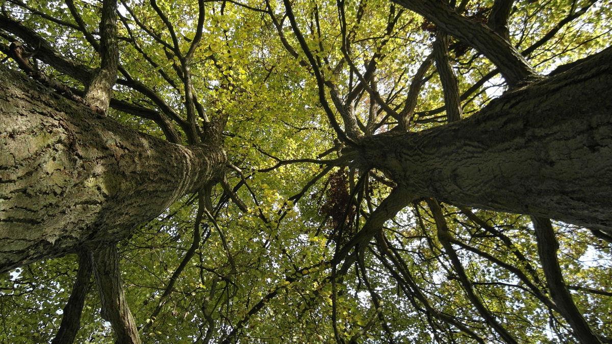 Unter den Looper Linden - Blick in die Baumkronen