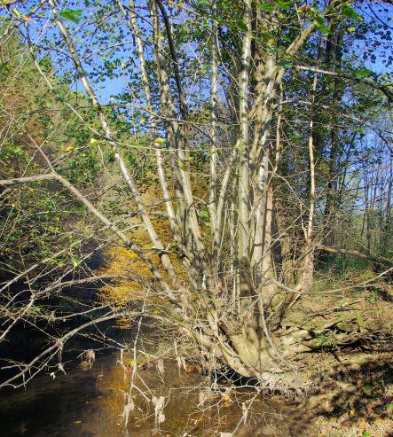 Bäume am Aggerufer