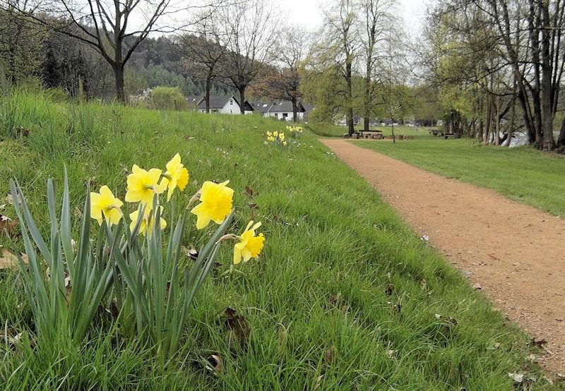 Narzissen im Frühjahr