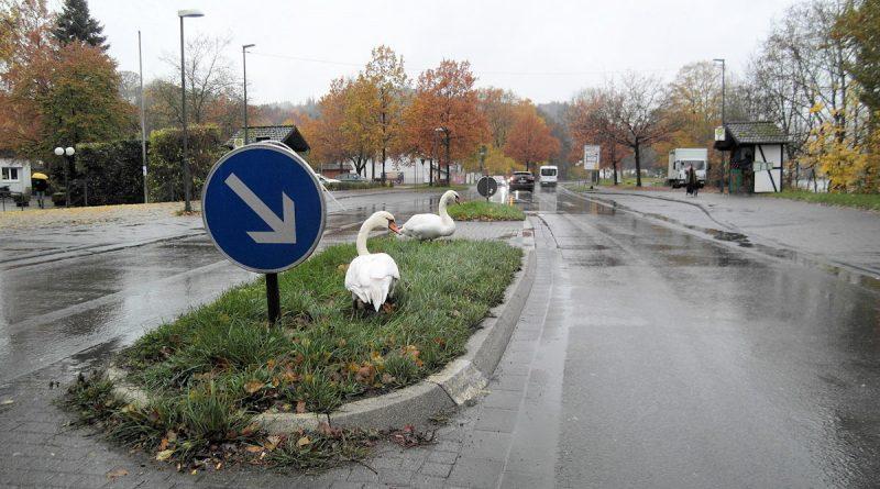 Schwäne auf der Straße